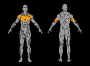 arnold-dips-muskelgruppen