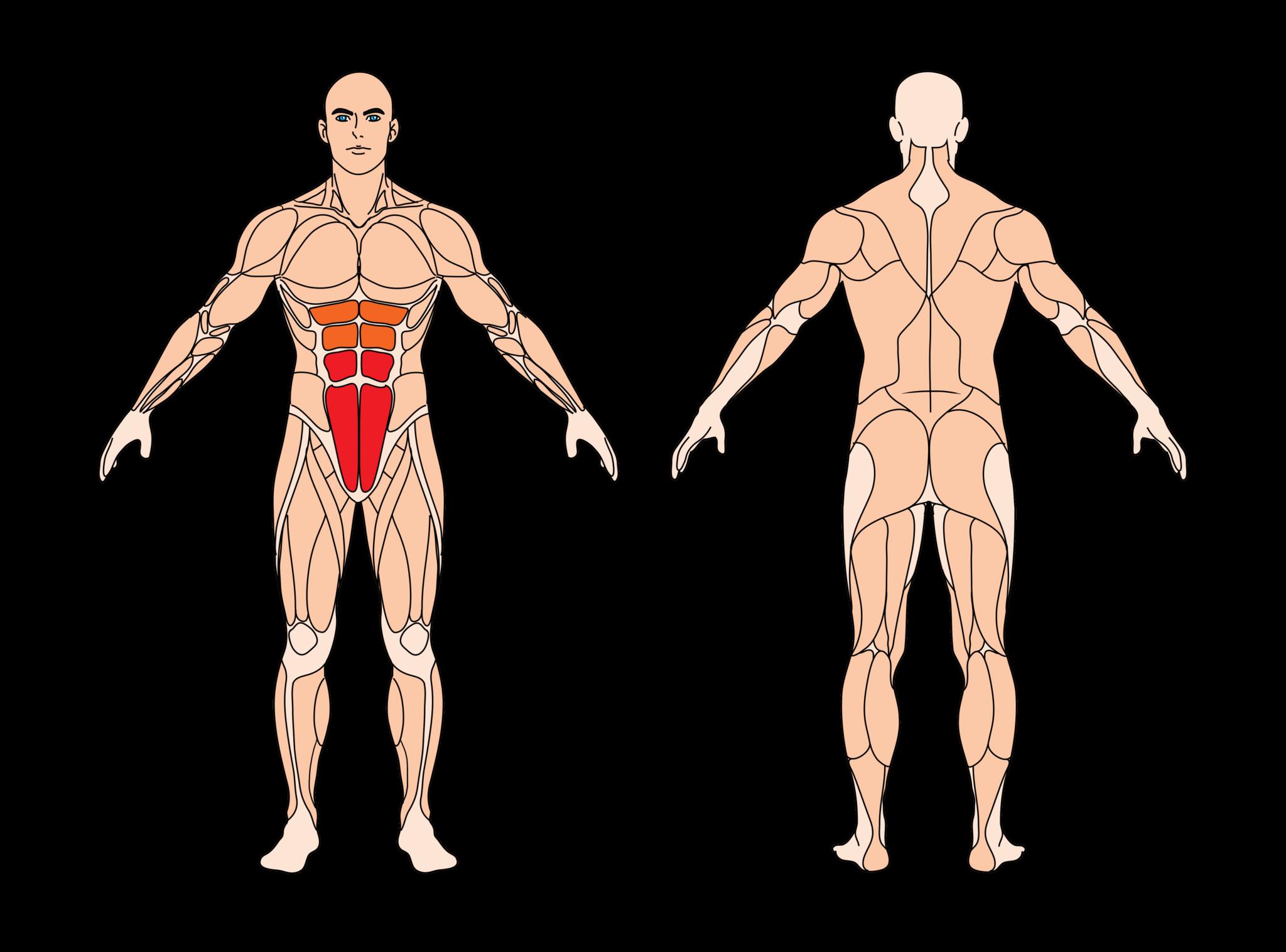 bauchpresse-muskelgruppen
