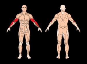 hammercurls-muskelgruppen
