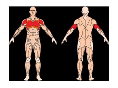 muskelgruppen_frauenliegestuetze