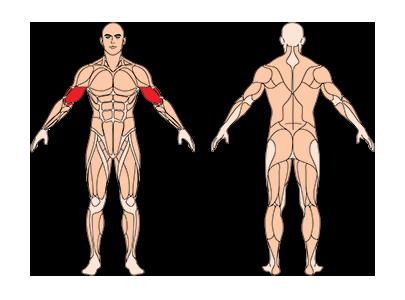 muskelgruppen_konzentrationscurls