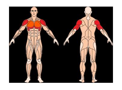 muskelgruppen_negativbankdruecken