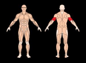 trizepsdruecken-muskelgruppen